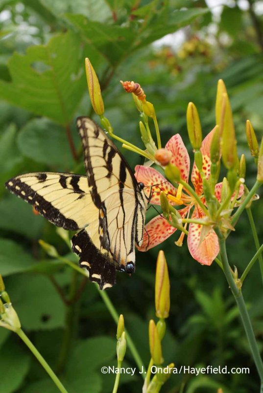 Papilio glaucus on Iris domestica (formerly Belamcanda chinensis); Nancy J. Ondra at Hayefield