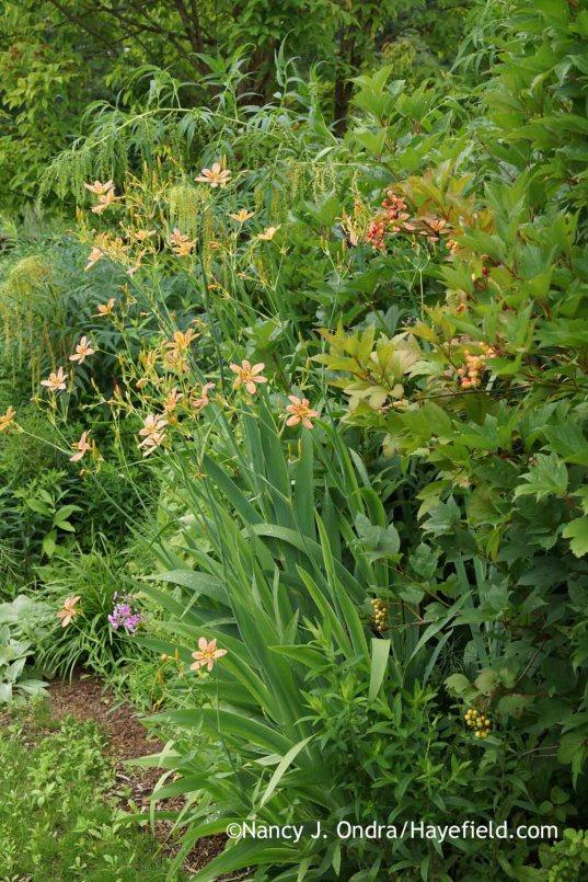Iris domestica (formerly Belamcanda chinensis); Nancy J. Ondra at Hayefield