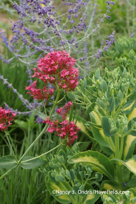 Centranthus ruber with Sedum alboroseum Mediovariegatum and Perovskia Filigran; Nancy J. Ondra at Hayefield