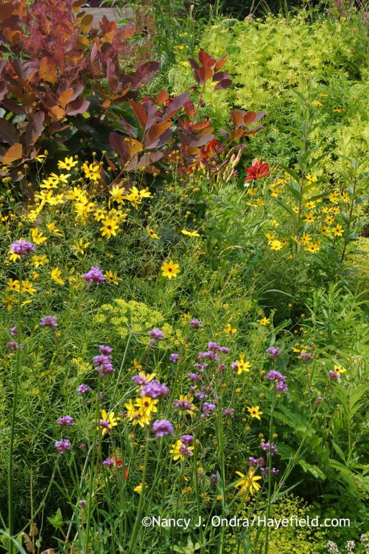 Coreopsis tripteris with Verbena bonariensis and Cotinus Grace; Nancy J. Ondra at Hayefield