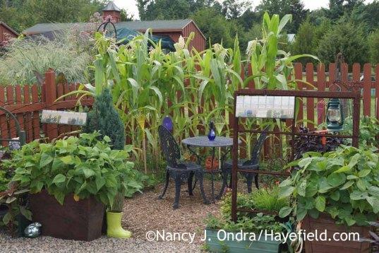 Pignoletto Giallo corn (Zea mays) at Hayefield; Nancy J. Ondra