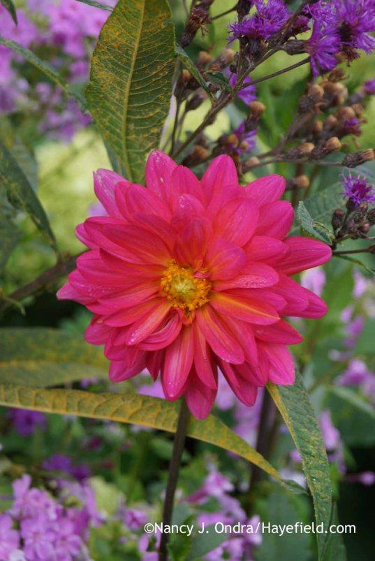 Dahlia 'Karma Fuchsiana' with Vernonia noveboracensis; Nancy J. Ondra at Hayefield