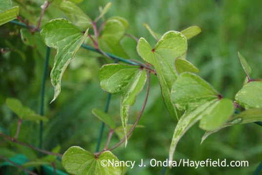 Dioscorea batatas Variegata; Nancy J. Ondra at Hayefield