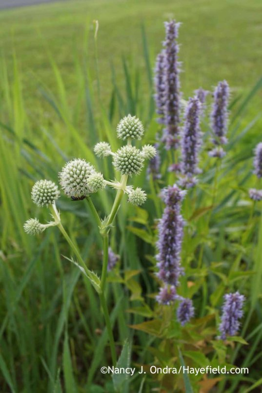 Eryngium yuccifolium with Agastache Blue Fortune; Nancy J. Ondra at Hayefield