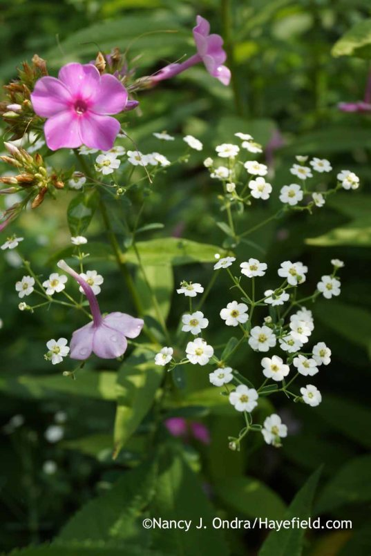 Euphorbia corollata with Phlox paniculata; Nancy J. Ondra at Hayefield