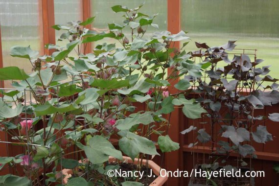 Gossypium Red Beauty with Gossypium herbaceum Nigrum; Nancy J. Ondra at Hayefield