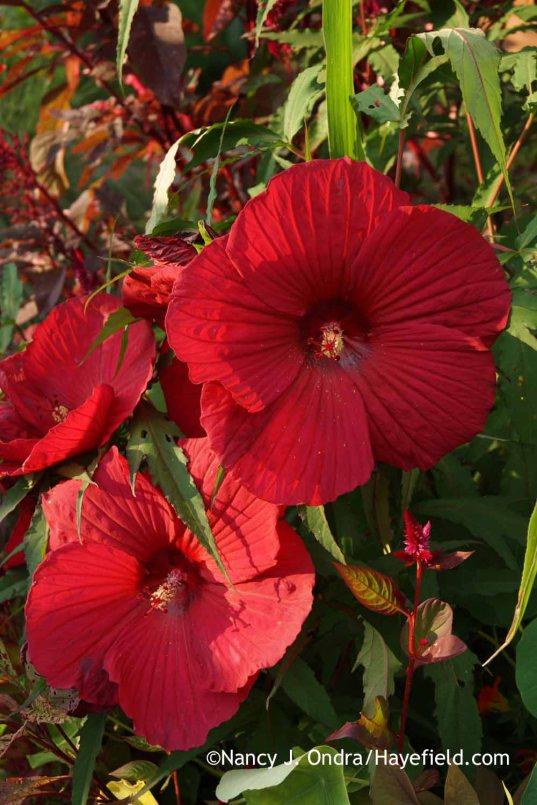 Hibiscus Fireball; Nancy J. Ondra at Hayefield