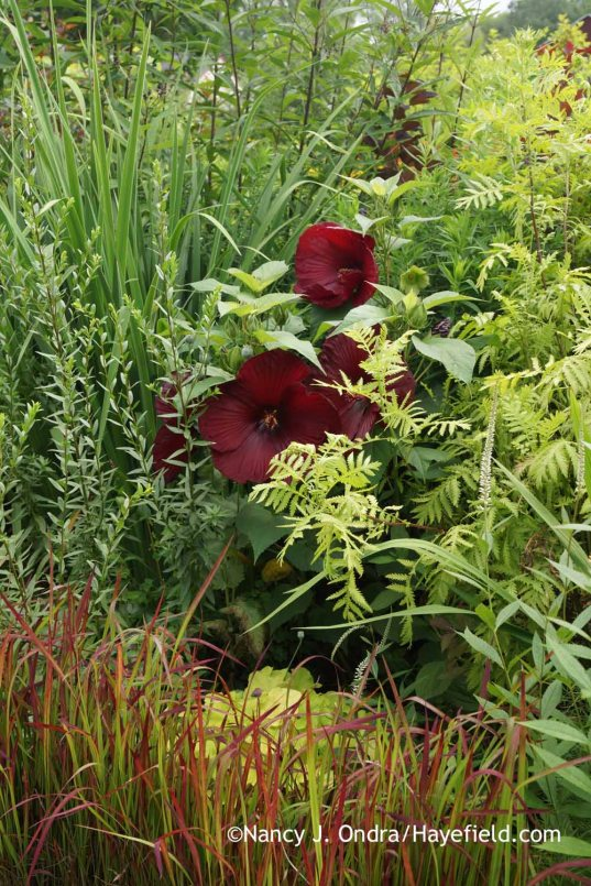 Hibiscus Heartthrob with Tanacetum vulgare Isla Gold and Imperata cylindrica Rubra; Nancy J. Ondra at Hayefield
