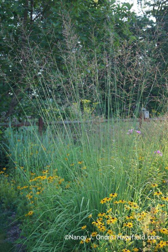 Molinia caerulea subsp arundinacea Skyracer with Rudbeckia fulgida; Nancy J. Ondra at Hayefield