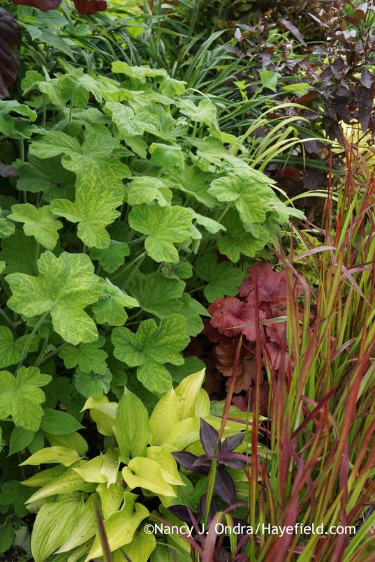 Pelargonium tomentosum with Heuchera Fire Alarm, Hosta Fire Island, Imperata cylindrica Rubra, and Tradescantia zebrina (solid purple form); Nancy J. Ondra at Hayefield