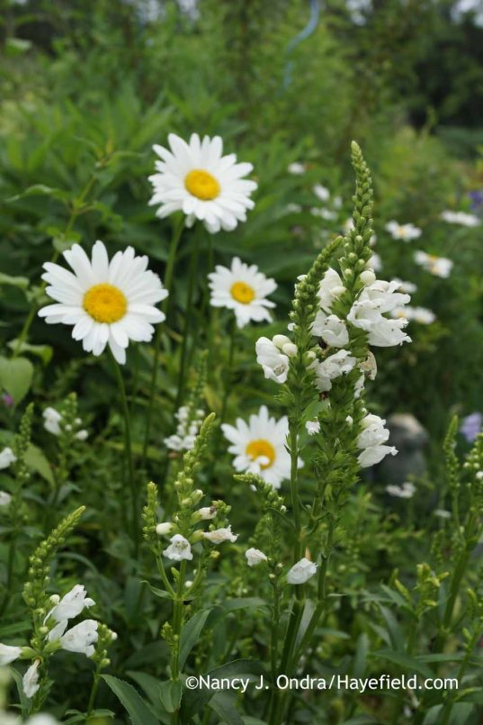 Physostegia virginiana Miss Manners with Leucanthemum x superbum Becky; Nancy J. Ondra at Hayefield
