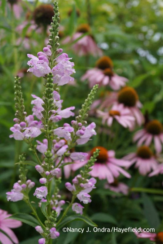 Physostegia virginiana Pink Manners with Echinacea purpurea; Nancy J. Ondra at Hayefield