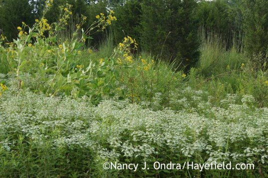 Silphium perfoliatum and Pycnanthemum in the meadow; Nancy J. Ondra at Hayefield