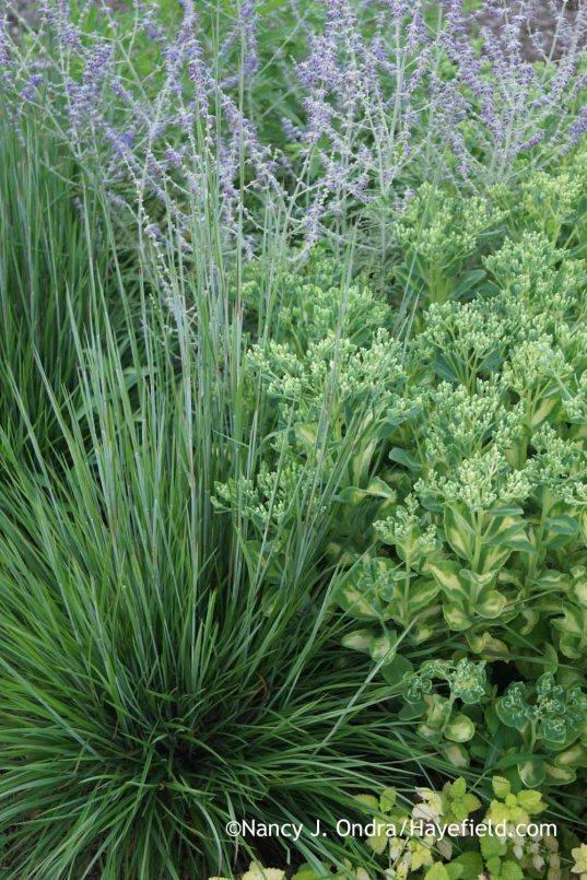Schizachyrium scoparium Prairie Munchkin with Sedum alboroseum Mediovariegatum and Perovskia Filigran; Nancy J. Ondra at Hayefield