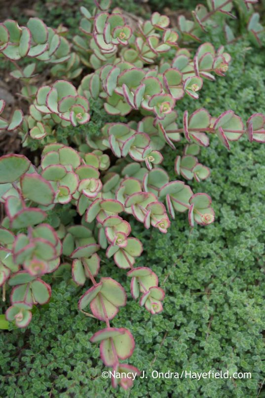 Sedum sieboldii with Thymus pseudolanuginosus; Nancy J. Ondra at Hayefield