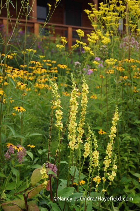 Verbascum nigrum with Rudbeckia fulgida and Patrinia scabiosifolia; Nancy J. Ondra at Hayefield