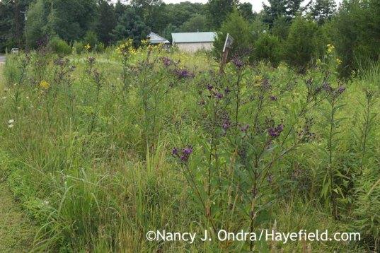 Vernonia noveboracensis in the meadow; Nancy J. Ondra at Hayefield