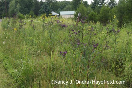 Vernonia noveboracensis in the meadow; Nancy J. Ondra at Hayefield