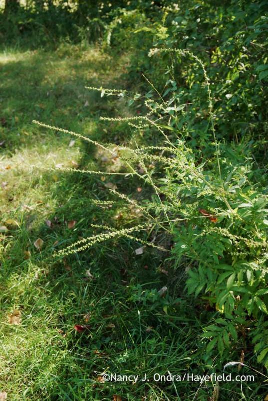 Agrimonia parviflora (Bucks County, PA); Nancy J. Ondra