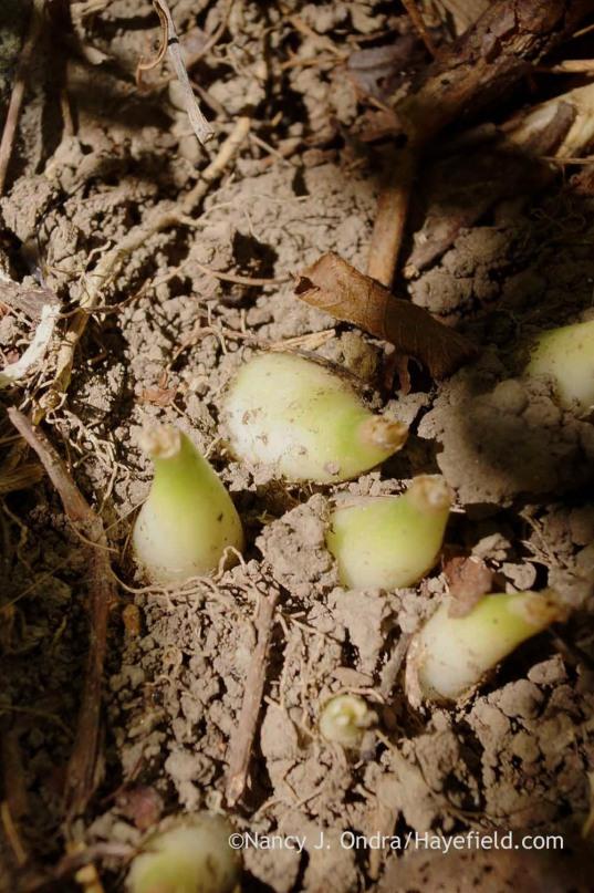Allium tricoccum bulbs in September (Bucks County, PA); Nancy J. Ondra