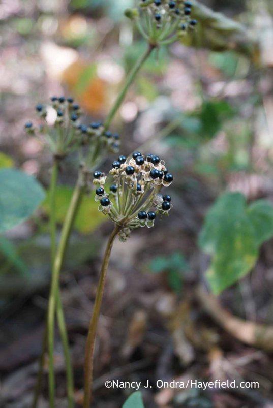 Allium tricoccum in seed (mid-September; Bucks County, PA): Nancy J. Ondra