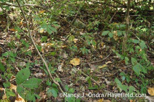 Allium tricoccum in September (Bucks County, PA); Nancy J. Ondra