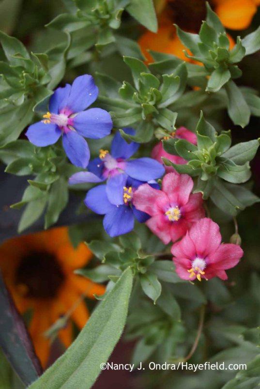 Anagallis monellii and pink-flowered sport; Nancy J. Ondra at Hayefield