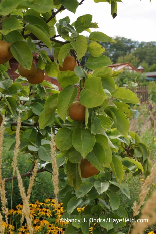 Asian pears; Nancy J. Ondra at Hayefield