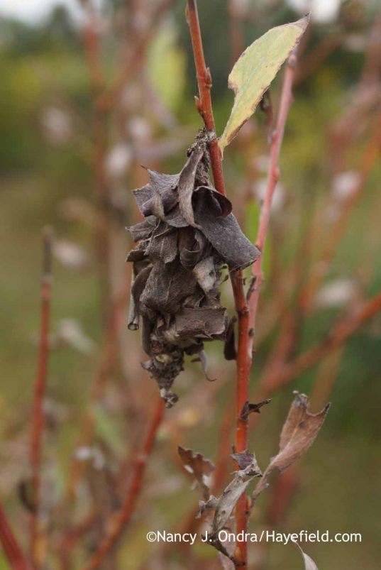 Bagworm on Salix alba 'Britzensis'; Nancy J. Ondra at Hayefield