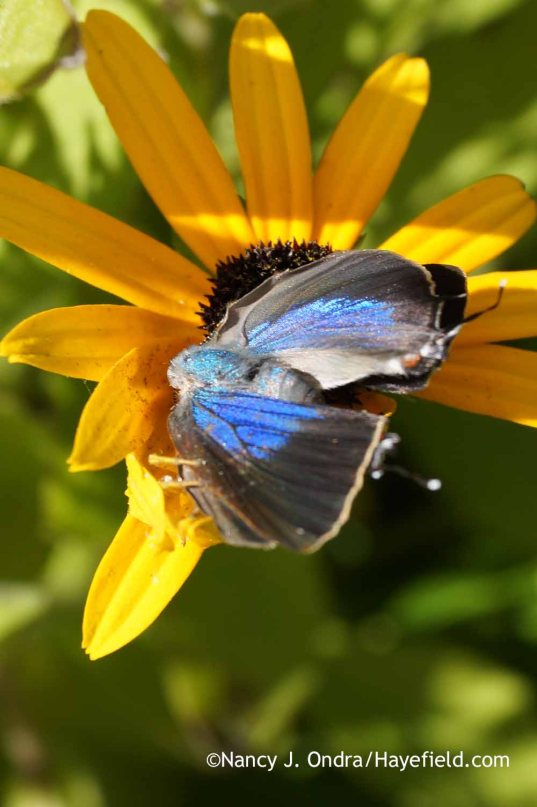 Unknown blue butterfly on Rudbeckia fulgida; Nancy J. Ondra at Hayefield