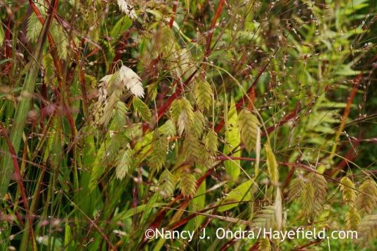 Chasmanthium latifolium with Panicum virgatum Shenandoah; Nancy J. Ondra at Hayefield