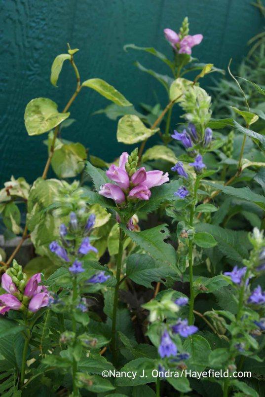 Chelone lyonii Hot Lips with Lobelia siphilitica and Persicara (Tovara) virginiana; Nancy J. Ondra at Hayefield