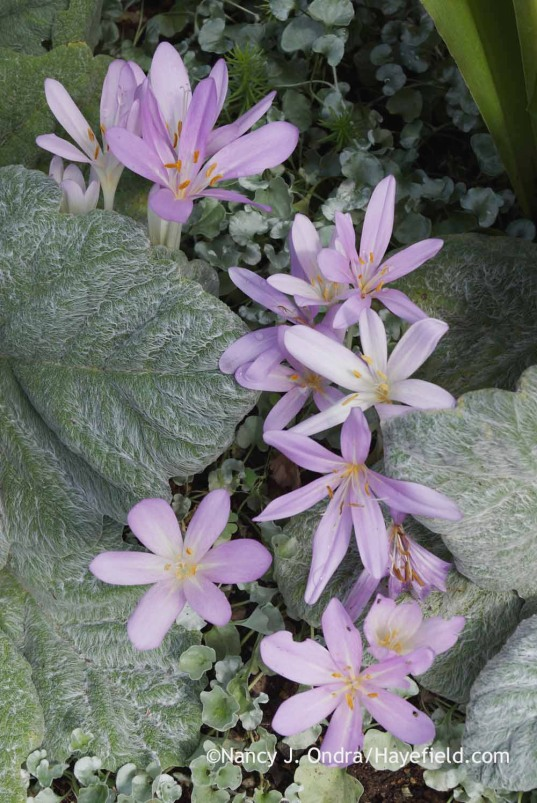 Colchicum autumnale with Salvia argentea and Dichondra argentea; Nancy J. Ondra at Hayefield