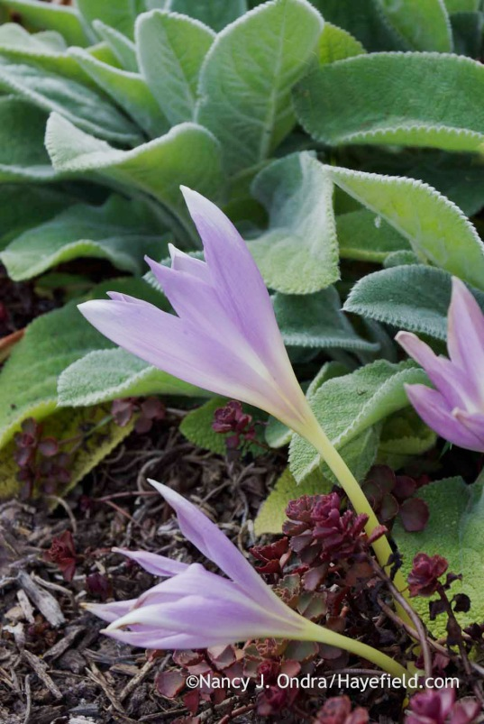 Colchicum 'Zephyr' with Sedum spurium 'Voodoo' and Stachys byzantina 'Big Ears'; Nancy J. Ondra at Hayefield