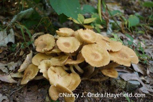 Unknown mushroom (Bucks County, PA); Nancy J. Ondra