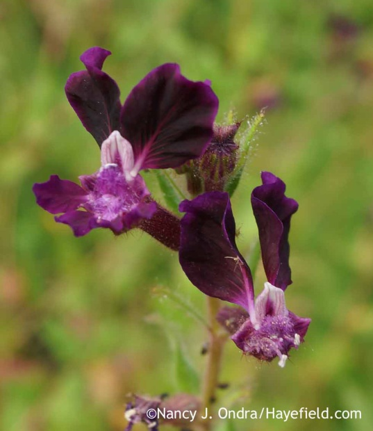 Cuphea viscosissima; Nancy J. Ondra at Hayefield