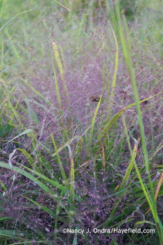 Eragrostis spectabilis; Nancy J. Ondra at Hayefield
