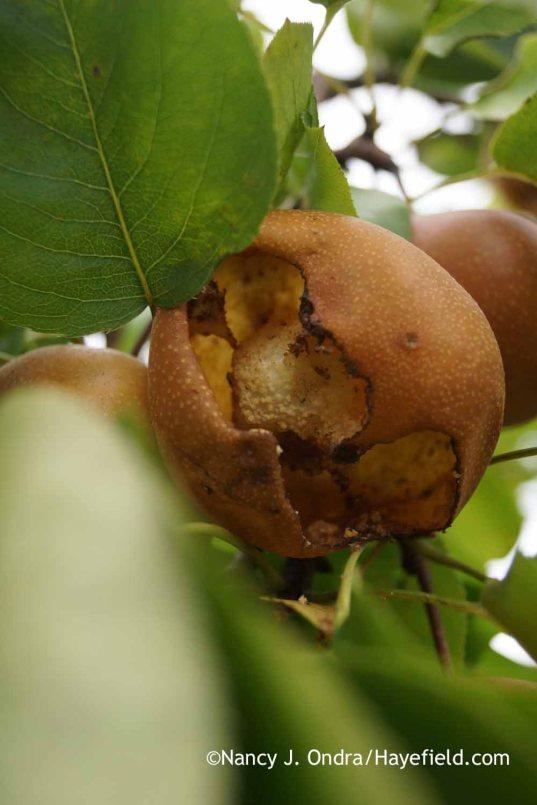 European hornet damage on Asian pear; Nancy J. Ondra at Hayefield