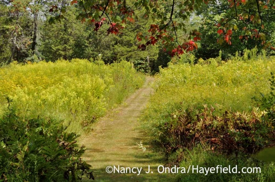 Goldenrod in meadow (Bucks County, PA); Nancy J. Ondra
