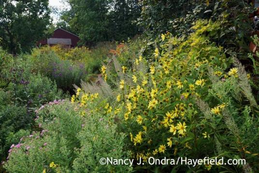 Helianthus Lemon Queen and Calamagrostis brachytricha in Side Garden; Nancy J. Ondra at Hayefield