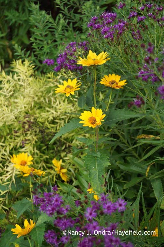 Heliopsis helianthoides 'Summer Sun' with Vernonia lettermannii and Spiraea thunbergii 'Ogon' [Mellow Yellow]; Nancy J. Ondra at Hayefield