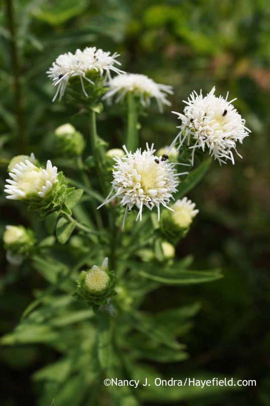 Liatris aspera (white-flowered); Nancy J. Ondra at Hayefield