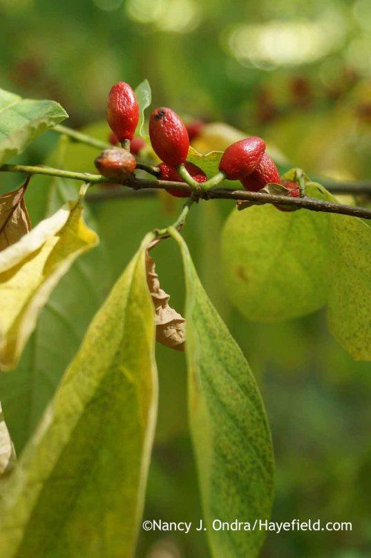 Lindera benzoin in fruit; Nancy J. Ondra