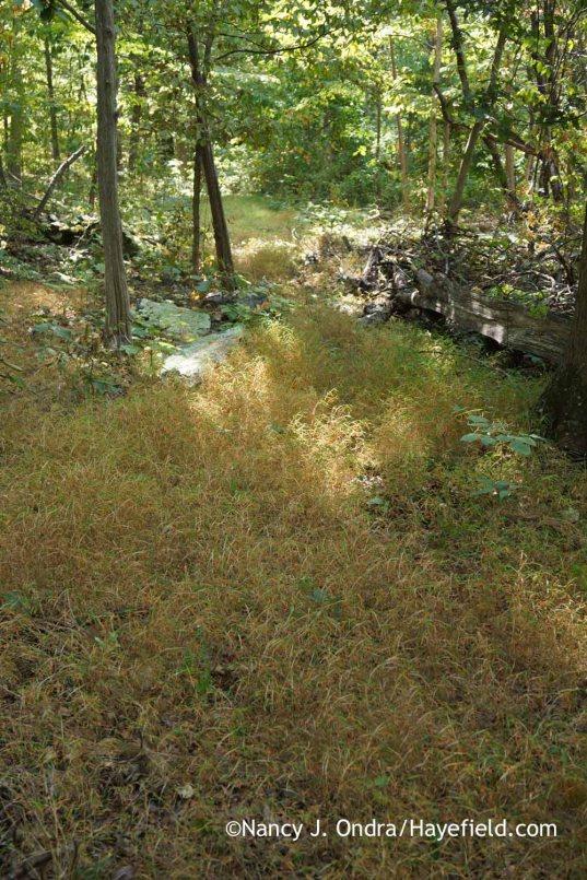 Microstegium vimineum in woods; Nancy J. Ondra