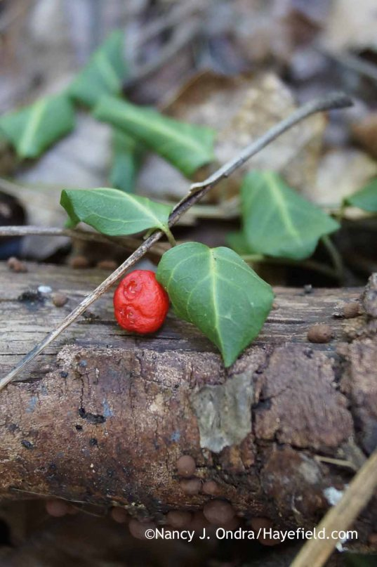 Mitchella repens with fruit (Bucks County, PA); Nancy J. Ondra