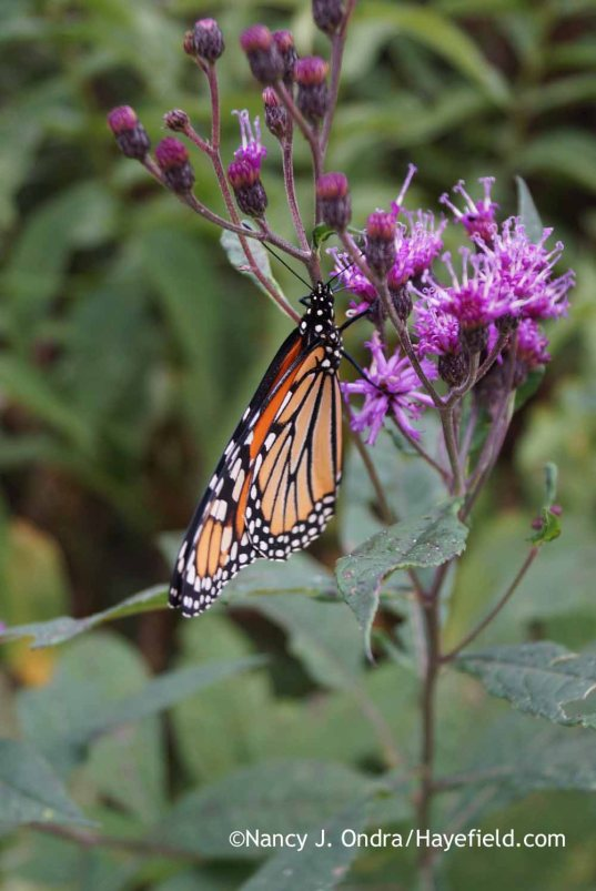 Monarch butterfly on Vernonia; Nancy J. Ondra at Hayefield