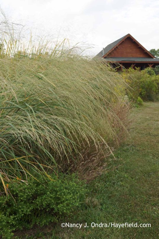 Panicum amarum and Schizachyrium scoparium; Nancy J. Ondra at Hayefield
