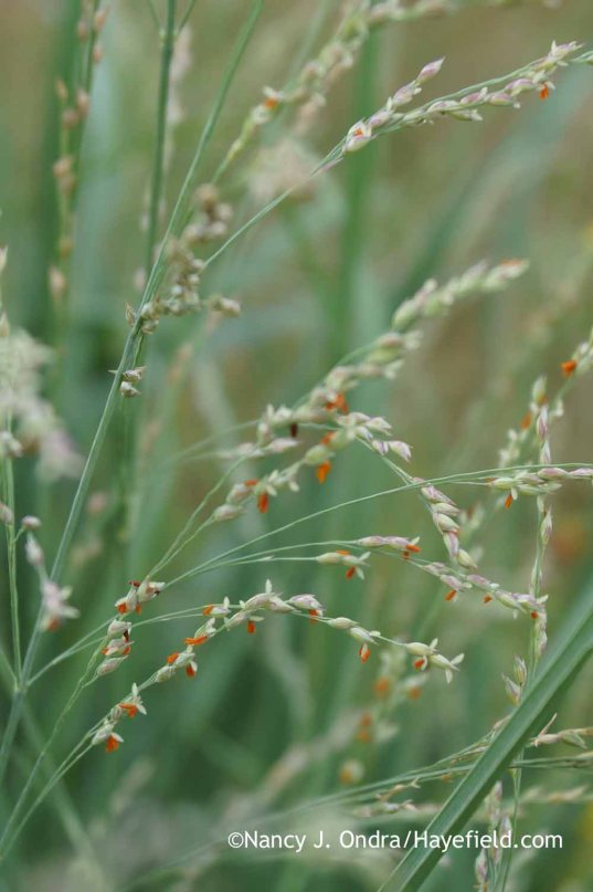 Panicum amarum in bloom; Nancy J. Ondra at Hayefield