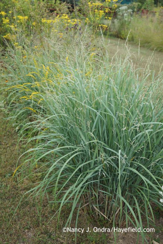 Panicum amarum in September after June cutback; Nancy J. Ondra at Hayefield