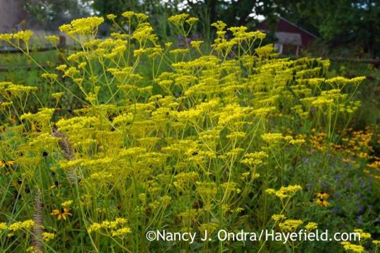 Patrinia scabiosifolia; Nancy J. Ondra at Hayefield